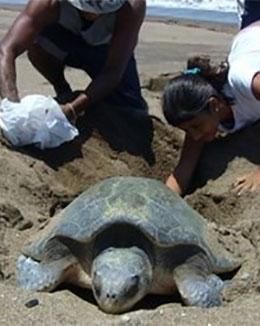 tortugas-costarica