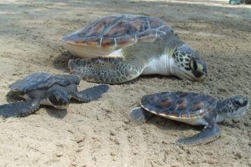 Voluntariado de tortugas en Montezuma