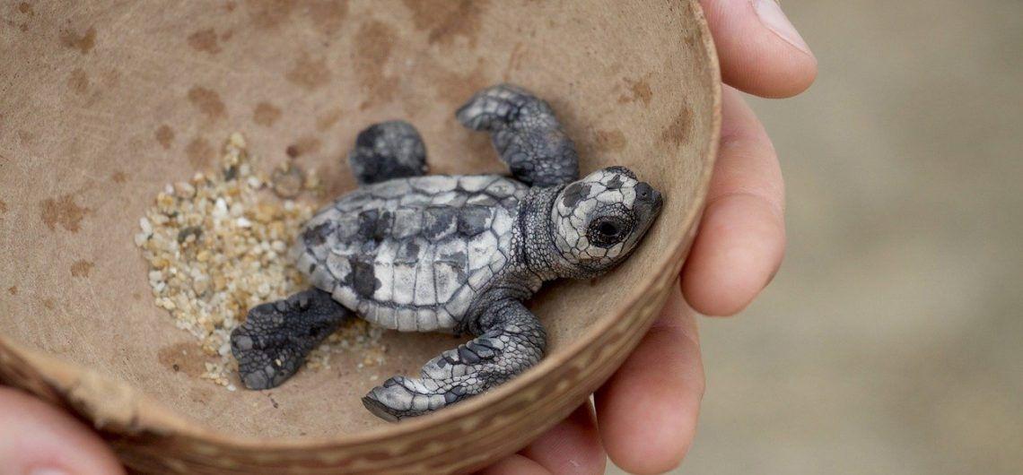 rescatando-tortuga-marina-en-Costa-Rica